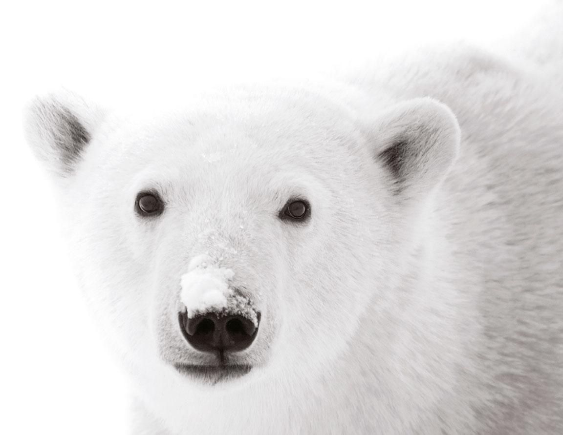 oso polar Hoxter